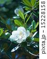 タイサンボク マグノリア 花の写真 15228158
