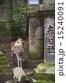 春日大社 世界遺産 鹿の写真 15240091