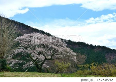 村の一本桜31 (香川県まんのう町) 15250542
