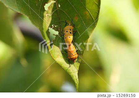 生き物 昆虫 アカギカメムシ、オオバギの葉の上でシックな色の個体が交尾中です 15269150
