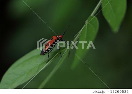 生き物 昆虫 アカホシカメムシ、きれいなカメムシですがハイビスカスやオクラの害虫です 15269682