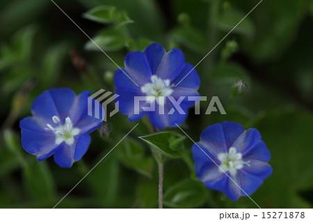 自然 植物 アサガオガラクサ、石垣島の海岸の草原で咲いていました。アメリカンブルーの原種だそうです 15271878