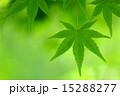 緑葉 かえで 葉の写真 15288277