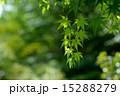 緑葉 かえで 葉の写真 15288279