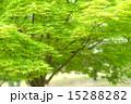 緑葉 かえで 新緑の写真 15288282