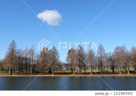 東京都 足立区 舎人公園のラクウショウとメタセコイア並木(冬) 15290495