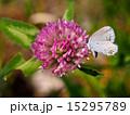 紫詰草 シジミチョウ科 蝶の写真 15295789
