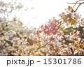 花 桜 開花の写真 15301786