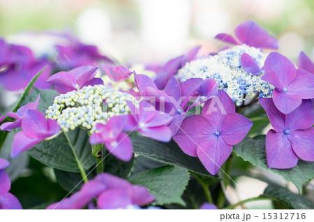 紫陽花(ハイドランジャーレディインレッド) 15312716