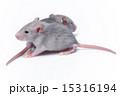 cute baby rats 15316194