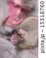 母 申 ニホンザルの写真 15318760