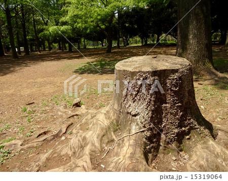 代々木公園の切り株 15319064
