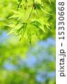 コピースペース 透過光 葉の写真 15330668