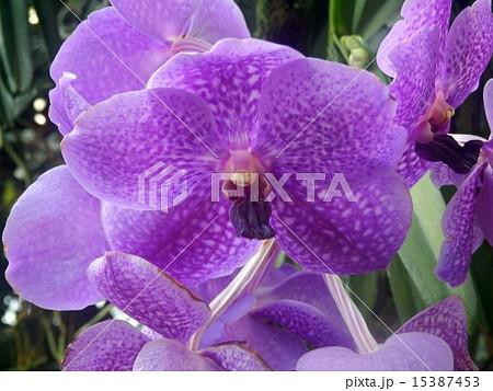 蘭の花・パンダ 15387453