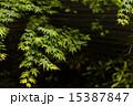 雨露に濡れる楓 15387847