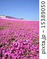 群生 シバザクラ 花の写真 15389050