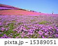 群生 シバザクラ 花の写真 15389051