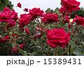 雨に濡れる赤い薔薇 15389431
