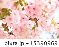 松前城 さくらまつり <満開> 15390969