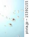 舞い散る 花びら 桜の写真 15392155