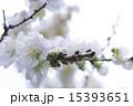 白い桜 15393651