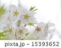 サクラ 15393652