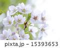 サクラ 15393653