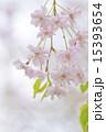 シダレザクラ 15393654
