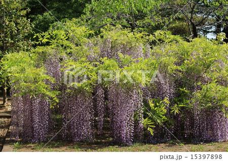 5月の筑波実験植物園に咲く藤(全様) 15397898