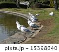 稲毛海浜公園 ユリカモメ 野鳥の写真 15398640