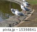 稲毛海浜公園 ユリカモメ 野鳥の写真 15398641