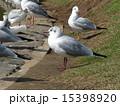 稲毛海浜公園 ユリカモメ 野鳥の写真 15398920