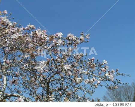 花びら細かく切れてるシデコブシの白い花 15399977