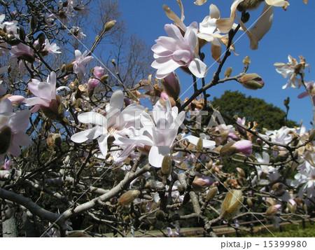 花びら細かく切れてるシデコブシの白い花 15399980