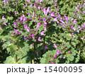 サンガイグサ ホトケノザ 花の写真 15400095