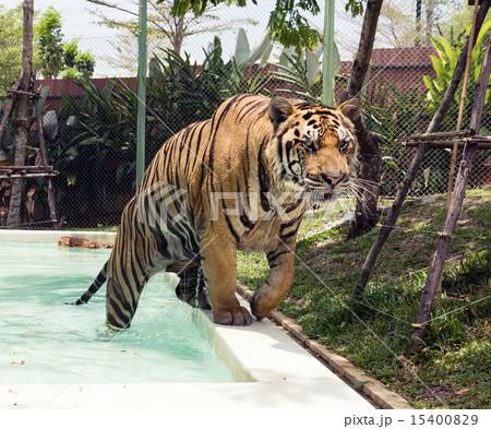 tiger 15400829