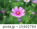 コスモス 15402784