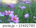 コスモス 15402785