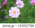 コスモス 15402786