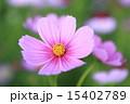 コスモス 15402789