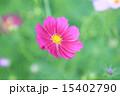 コスモス 15402790