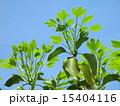 新葉 かくれみの 新緑の写真 15404116