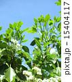 新葉 かくれみの 新緑の写真 15404117