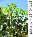 新葉 かくれみの 新緑の写真 15404118