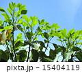 新葉 かくれみの 新緑の写真 15404119