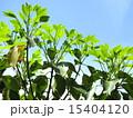 新葉 かくれみの 新緑の写真 15404120