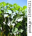 新葉 かくれみの 新緑の写真 15404121