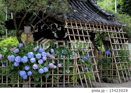 白山神社 あじさい 15423029