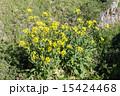 西洋油菜 植物 花の写真 15424468