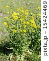 西洋油菜 植物 花の写真 15424469